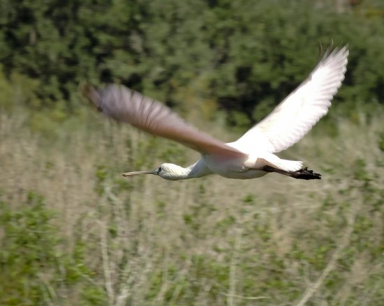 Roseate Spoonbill in flight at Baytown Nature Center