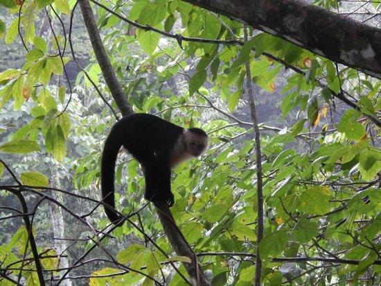 Osa Green Travel : Capuchin Monkey