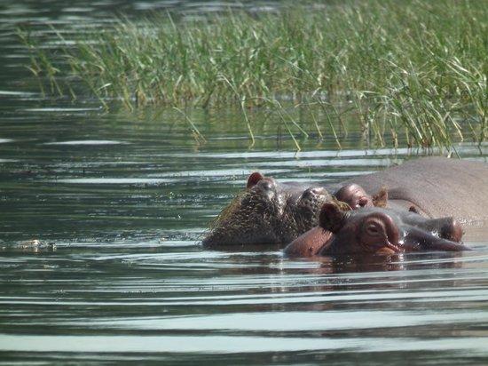 Hippos in Lake Awasa