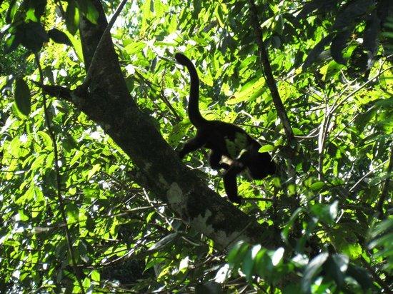 Prana Rainforest Retreat: White-faced monkey!