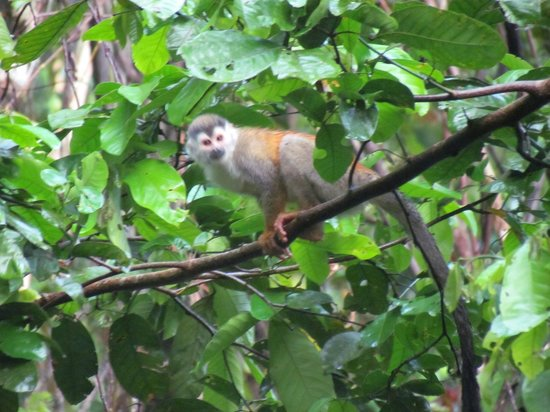 Prana Rainforest Retreat: Squirrel Monkey. We saw a pack of 50-60 of them!