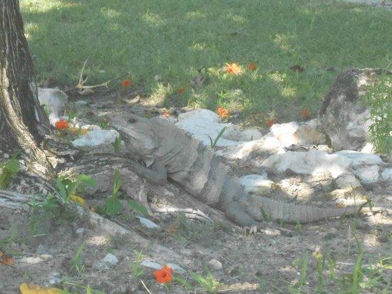 Ruines El Rey (Zona Arqueologica El Rey) : Iguana
