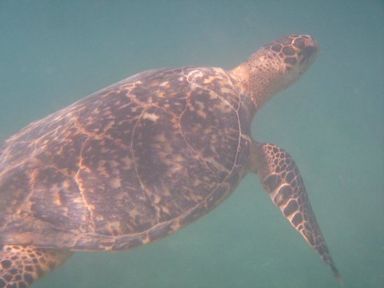 Cottages By The Sea: green turtle seen while snorkeling out front
