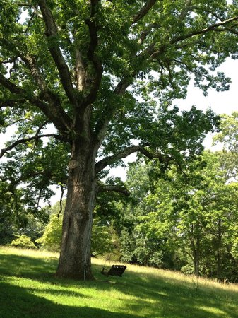 The Dulwich Manor: Majestic Oak Tree