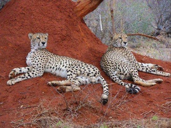 Royal Madikwe Luxury Safari Lodge: Adam got us so close to the Cheetahs