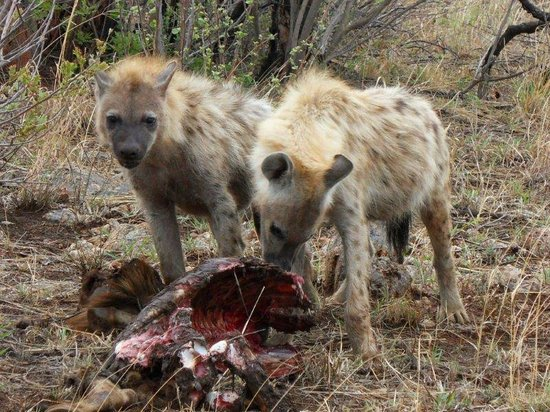 Royal Madikwe Luxury Safari Lodge: Hungry spotted hyaena