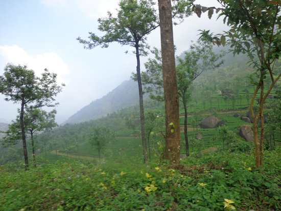 Wild Elephant Eco Friendly Resort: Nearby Tea Plantation