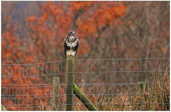 Twitchen Farm: Buzzard on the fence