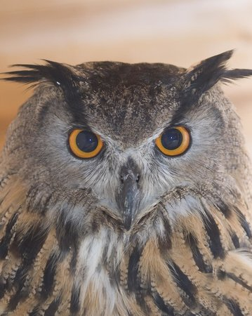 Black Mountains Falconry Centre: Hoo-Hoo our very popular Eagle-Owl.