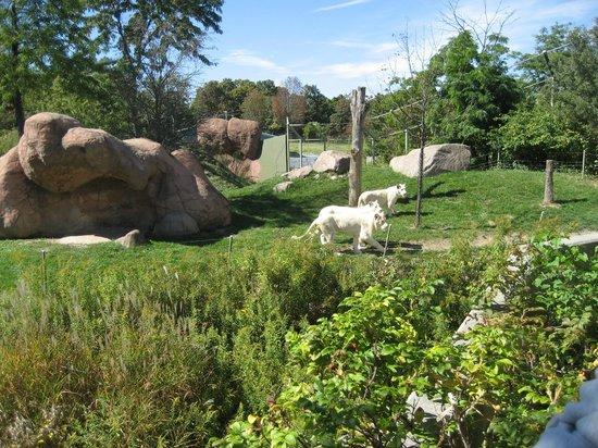 Toronto Zoo: Löwen