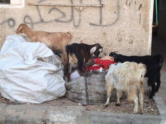Red C Villas: Goats foraging near market