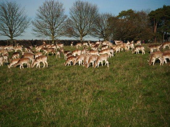 Dyrham Park: Dyrham deer
