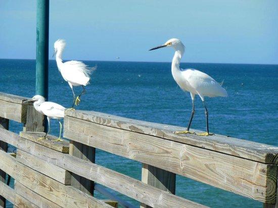 Venice Beach Villas: Small Herons at the Pier
