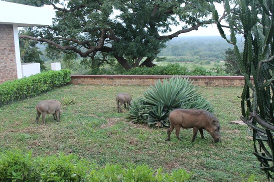 Mole Hotel: Warthogs grazing on the hotel lawn