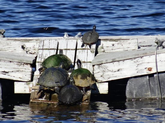 Six Mile Cypress Slough Preserve: turtles