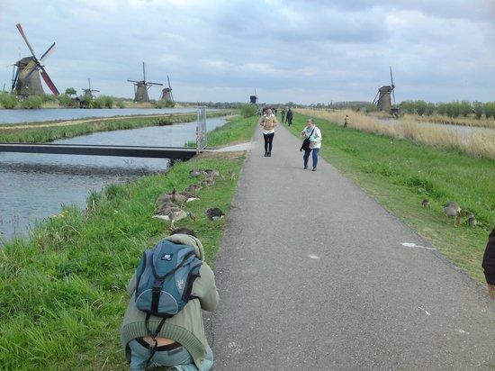 Réseau de moulins de Kinderdijk-Elshout : The birds are use to the tourists.