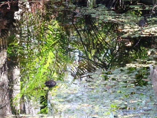 Six Mile Cypress Slough Preserve: reflection