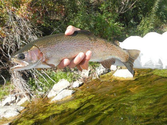 Montana Fishing Outfitters: Nice rainbow posing before going back for a swim