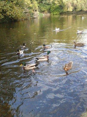 Parque St Stephen's Green: Ducks
