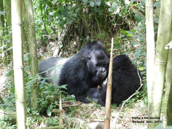 Volcanoes National Park: Visita a los gorilas