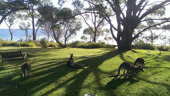 By The Beach B & B Self-Contained Apartments: Kangaroos on the property