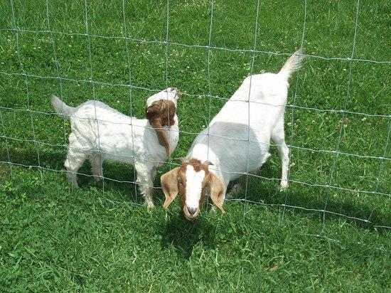 Coastal Palms Holiday Park: Friendly goats