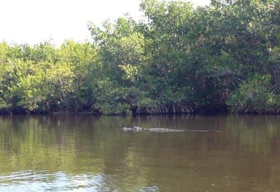 Tour the Glades - Private Wildlife Tours: alligator