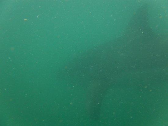 White Shark Ventures : Underwater