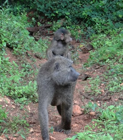Travel Explore Africa : Baboons