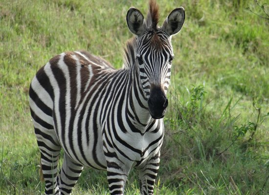 Travel Explore Africa : Zebra