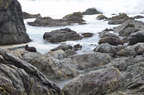 Seal Coast Safari : Seals on the rocks.
