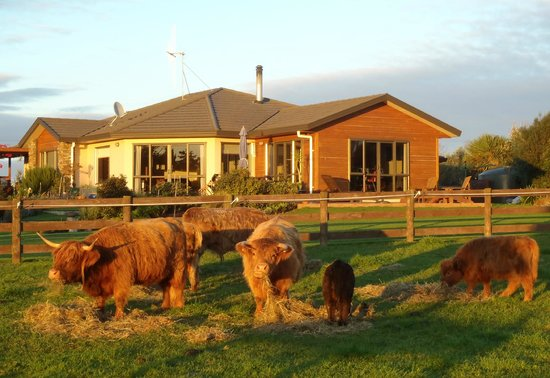 Ohau Highland Bed and Breakfast: Miniature highland cattle
