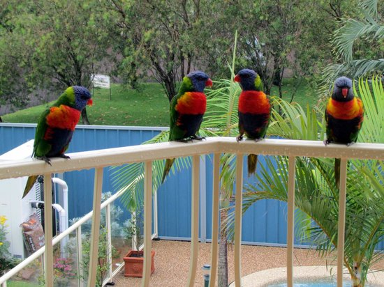 Martys at Little Beach : Lorikeets on our balcony