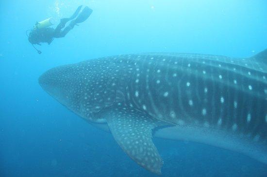 Darwin & Wolf Islands: Китовая акула