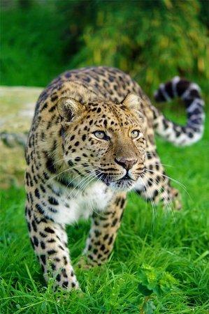 Wildlife Heritage Foundation: Artur the Amur Leopard