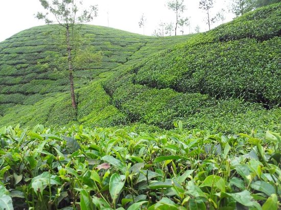 Deep Woods Resort: Tea estate very close