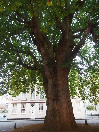 Three Abbey Green : Sycamore Tree