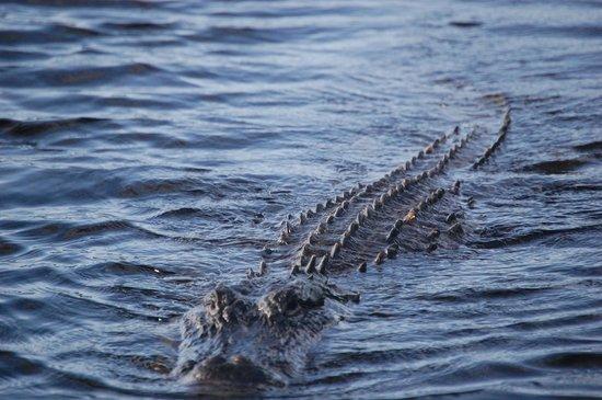 Dreamlander Tours: curious 12 foot gator