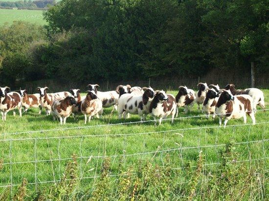 Huxtable Farm Bed & Breakfast : Jacob Sheep