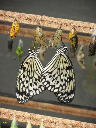 Mariposario de Benalmádena: Vlinders net uit de cocon gekropen .
