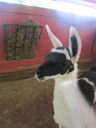 Reston Zoo: Baby llama in the petting/feeding area