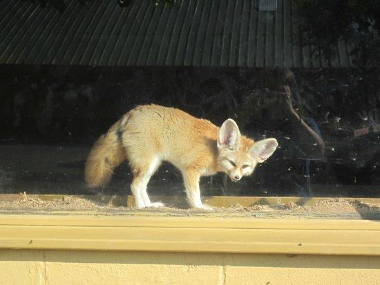 Reston Zoo: Fennec Fox