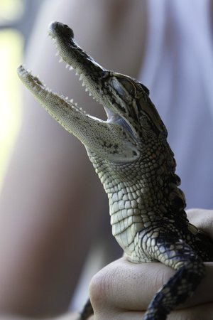Louisiana Tour Company : Baby alligator on the boat