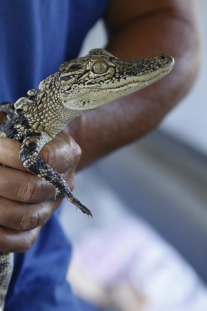 Louisiana Tour Company: baby alligator on the boat