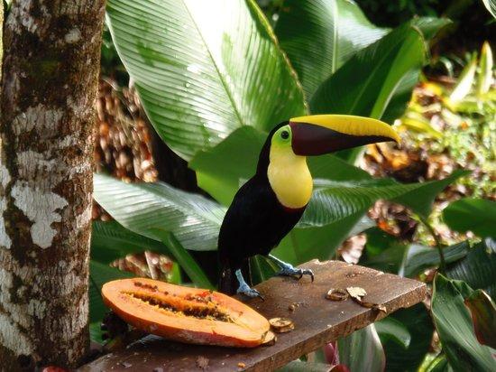 Cabinas Jade Mar: Bonitos tucanes