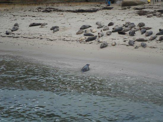 La Jolla Cove: Wild Seals