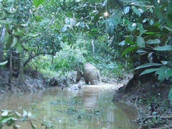 Kinabatangan River: the elephant crossing the river