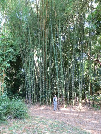 Cairns Botanical Gardens: Stand of bamboo at entrance