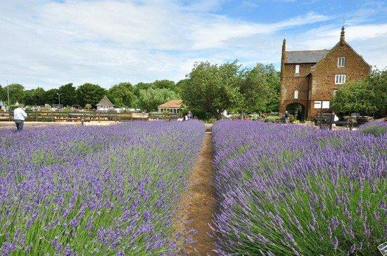 Norfolk Lavender: Lavender Garden
