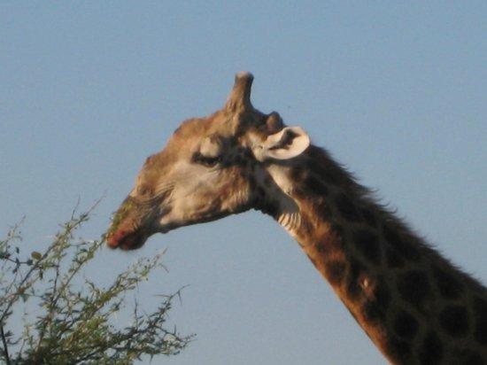 Idube Game Reserve Lodge : A tall friend!